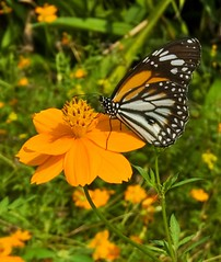 orange butterfly (Steve4343) Tags: steve4343 nikon d70s trail forest red green blue yellow orange white clouds sky beautiful autumn beauty county lake cloud colorful woods garden gardens happy leaves rocks wildlife landscape mountain tree trees grass water wood summer spring macro flower flowers black northern thailand butterfly