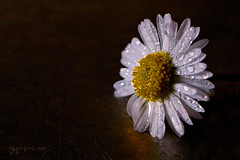 Autumnal Daisy ... (MargoLuc) Tags: daisy margherita flower autumn mood droplets white petals yellow soft light table stilllife delicate beauty