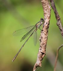 Chalcolestes Viridis (Visual Stripes) Tags: damselfly chalcolestes viridis odonata insect invertebrate canoneos7d sigma150mm sigma14teleconverter