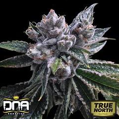 auto-el-fuego-dna (Watcher1999) Tags: cannabis marijuana medical seeds growing strain plant weed weeds smoking ganja legalize it strains indica