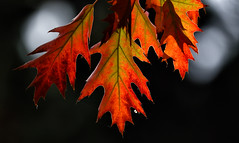 Ready To Drop ... (AnyMotion) Tags: northernredoak roteiche quercusrubra leaf leaves blatt blätter light licht shadow schatten autumncolours herbstfärbung bokeh tree baum nature natur cemetery 2018 frankfurt anymotion maincemetery hauptfriedhof hessen germany 7d2 canoneos7dmarkii colours colors farben red rot orange green grün autumn fall herbst automne otoño ngc
