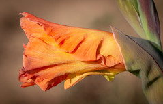 Gladiole (LuckyMeyer) Tags: flower fleur blume blüte pflanze plant garden light orange makro