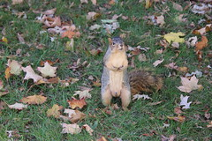 Squirrels in Ann Arbor at the University of Michigan - October 22nd, 2018 (cseeman) Tags: gobluesquirrels squirrels annarbor michigan animal campus universityofmichigan umsquirrels10222018 fall autumn eating peanut acorns octoberumsquirrel foxsquirrels easternfoxsquirrels michiganfoxsquirrels universityofmichiganfoxsquirrels