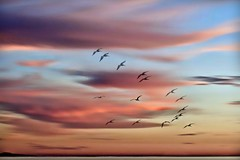 Delicious Autumn (Christina's World Off and On) Tags: sky clouds red pelicans flying birdsflying flockofbirds flock colorful sea ocean unitedstates usa sandiego beach neighborhood nature digitalart sunset