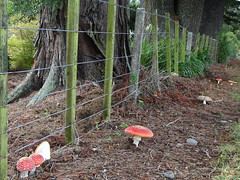 Happy Fenced Friday! (Home Land & Sea) Tags: nz newzealand hawkesbay puketitiri fence hff fencedfriday red mushrooms fungi amanitamuscaria flyagaric sonycybershot dschx100v pointshoot homelandsea explored