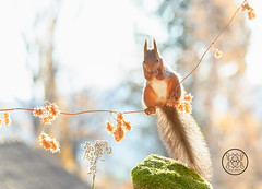 red squirrel standing on a branch with dried flowers (Geert Weggen) Tags: animal autumn bright bud cheerful closeup cute flower foodanddrink horizontal humor land lightnaturalphenomenon mammal moss mushroom nature perennial photography plant red rodent springtime squirrel summer sweden fun fight fall couple young heath branch leaves reach camouflage rock top above high up bispgården jämtland geert weggen seweden ragunda