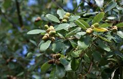 Eiche, Aleppo- / Aleppo oak (Quercus infectoria ssp. veneris) (HEN-Magonza) Tags: aleppoeiche eicheln aleppooak quercusinfectoriasspveneris acorn botanischergartenmainz mainzbotanicalgardens rheinlandpfalz rhinelandpalatinate