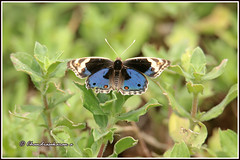 8195 - blue pansy (chandrasekaran a 50 lakhs views Thanks to all.) Tags: bluepansy butterfly insects india nature chennai canoneos6dmarkii tamronsp150600mmg2