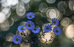 Aster (Torok_Bea) Tags: aster őszirózsa flower flowers trioplan meyeroptikgörlitz mog bokeh bokehbliss nikon natur nature amazing nikond7200 d7200 asters garden gardenflower