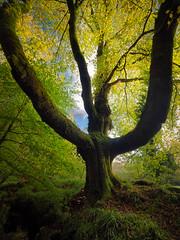 The Grandeur (Timothy Gilbert) Tags: autumn lovecornwall riverfowey wideangle tree golithafalls m43 microfourthirds panasonic laowacompactdreamer75mmf20 microfournerds cornwall gx8 ultrawide lumix