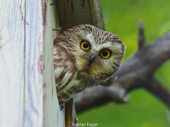 Saw Whet owl in nestbox 2018-06-10 (brian eagar - very busy - not much time to comment) Tags: bird utahbird owl sawwhetsaw whet owlsawwhetraptormountainweber county2018juneolympusem1 m2300mmolympus 300mm f4