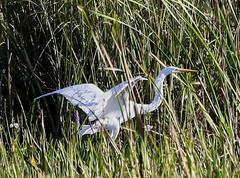 11-12-18-0041913 (Lake Worth) Tags: animal animals bird birds birdwatcher everglades southflorida feathers florida nature outdoor outdoors waterbirds wetlands wildlife wings
