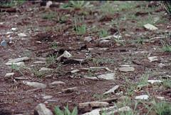 r001-025_DxO (linuxmobileuser) Tags: grass nature photohunting summer bird little animal soil zenit jupiter kodak iso zcg zenit12sd jupiter37a35135 kodakcolorplus iso200 1500 jupiter37a 35mm