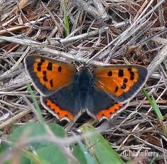 Small Copper, Scilly Isles UK September 2018 (upperwinskill) Tags: lycaenaphlaeas