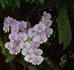 A Phalaenopsis In Bloom (ACEZandEIGHTZ) Tags: nikon d3200 orchid phalaenopsis moth tree macro closeup shade rforchids coth coth5 sunray5