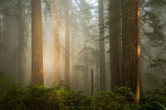 Entity of Light (Bob Bowman Photography) Tags: redwoods trees forest light fog california green mist atmosphere coastalredwoods