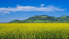 Forage Radish 8835 B (jim.choate59) Tags: blue forageradish field hills spring jchoate on1pics landscape bluesky