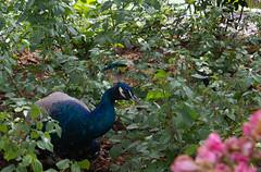 Paon aime les fleurs... (Crilion43) Tags: arbres région angers feuillesfeuillage maineetloire paon parc paysdelaloire paysages animaux villes jardin