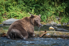 A Bear Adventure (TNWA Photography (Debbie Tubridy)) Tags: alaska wildlife brownbear waterdrips fishing kenaipeninsula log river water animal ursusarctos mammal activity onthemove behavior wild salmonchasing wilderness nature habitat environment natural daylight summer outdoors debbietubridy tnwaphotography