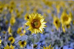 _DSC0243 (Raphistole) Tags: tournesols sunflower nikon d7000 sun flower yellow 105mm sigma bokeh