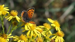 Small Copper (Nick:Wood) Tags: nature wildlife insect butterfly smallcopper lycaenaphlaeas cuttlepoolnaturereserve warwickshirewildlifetrust templebalsall