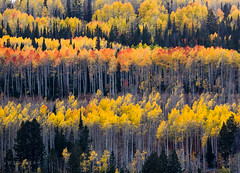 Autumn Aspen Lines (xjblue) Tags: 2018 autumn omdem1 olympus slatefire color fall mountains wasatch utah landscape trees aspen 50200mmswd cache national forest uinta