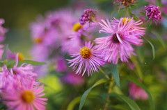 September flowers (Baubec Izzet) Tags: baubecizzet pentax bokeh flower nature autumn