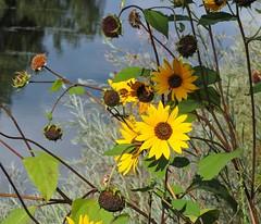Common Sunflower (Boulder Flying Circus Birders) Tags: commonsunflower helianthusannuus commonsunflowercolorado commonsunflowerboulder wildbirdboulder wildbirdcolorado boulderflyingcircusbirders freebirdwalk saturdaymorningbirders bouldercounty colorado eileenrutherford