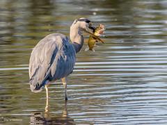 Kapitaler Fang (wernerlohmanns) Tags: wildlife wasservögel natur naturpark nabu nsg nikond7200 outdoor deutschland schärfentiefe sigma150600c graureiher heron hecht