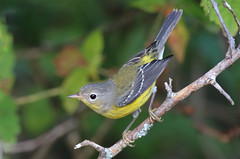 Magnolia Warbler (geno k) Tags: magnoliawarbler kennesawmountain 912018 yellowrump