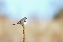 American Tree Sparrow (Melissa James Photography) Tags: spizellaarborea americantreesparrow bird colorado nikond500 nikon300f4