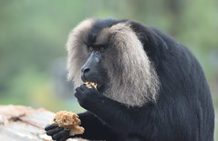Lion-Tailed macaque (praveen.ap) Tags: liontailed macaque liontailedmacaque valparai