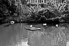 Little Weighton Pond Monochrome (brianarchie65) Tags: littleweighton eastyorkshire eastridingofyorkshire yorkshirecameraramblers yorkshireblackandwhite pond ducks water reflections reflectiononwater monochrome blackandwhite blackandwhitephotos blackandwhitephoto blackandwhitephotography blackwhite123 blackwhiterealms flickrunofficial flickr flickruk flickrcentral flickrinternational ukflickr canoneos600d geotagged brianarchie65 sign signs posts signposts