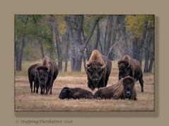 _R5A1537-Edit-Edit (StoppingTheShutter Photography) Tags: bird bison buffalo co colorado denver eagle hawk rockymountainarsenal westminster