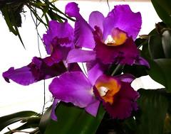 Rhyncholaeliocattleya Hawaiian Charisma 'Hawaii' hybrid orchid (nolehace) Tags: rhyncholaeliocattleya hawaiian charisma hawaii hybrid orchid 918 cultivar fragrant summer nolehace fz1000 flower bloom plant sanfrancisco