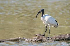 _DSC7422-ps (vilaramon) Tags: africansacredibis aves birds ibissacré pontdegau pélécaniformes threskiornisaethiopicus threskiornithidae threskiornithidés oiseaux