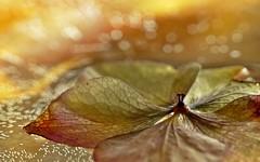 (Kaska Ppp) Tags: macro macrophotography macromonday nature naturephotography bokeh light golden hydrangea flower flowers flowersphotography macromondays
