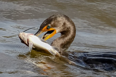 Catfish lunch (tresed47) Tags: 2018 201810oct 20181016conowingobirds birds canon7dmkii conowingo content cormorant folder maryland peterscamera petersphotos places takenby us