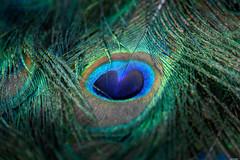 Eye of the rainbow (Rico the noob) Tags: dof bokeh d850 peacock closeup switzerland outdoor animal zurich macro schweiz birds 300mmf4pf bird animals zoo 2018 300mm nature published