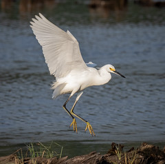 Snowy Egret landing (tresed47) Tags: 2018 201809sep 20180919bombayhookbirds birds bombayhook canon7dmkii content delaware folder peterscamera petersphotos places season september summer takenby us