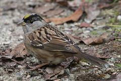 Golden-crowned Sparrow (Terrance Carr) Tags: dncb 201843 reifel terry carr terrycarr 20181023 2018 october