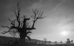 Old oak in Rogalin (mirosławkról) Tags: poland sky clouds trees grass landscape field tree old oak sunrise blackandwhite