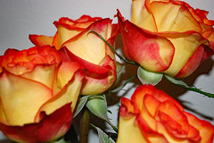Rose Bouquet. (dccradio) Tags: lumberton nc northcarolina robesoncounty indoor indoors inside rose roses flower floral flowers pretty beauty beautiful nature yellow orange red bouquet october tuesday evening autumn fall wall nikon d40 dslr