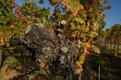 Woiknorze (tucsontec) Tags: wein weinberge wineyards wine autumn ausflug herbst herbstfarben colours natur nature nationalpark pfalz pfälzerwald wandern rebstock
