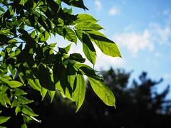 Leaves (awkward_annie) Tags: leaf leaves nature olympus seattle washington bokeh naturephotography leafphoto leavesphoto naturephoto natureshot bokehphotography bokehphoto bokehshot