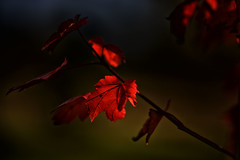 Exposing for the light (Jan.Timmons) Tags: octoberglorymaple autumn october red nosaturation exposingforlight mapleleaves tree lastleaves hope nature conservation washingtonstate pacificnorthwest nomoreviolence acerrubrum