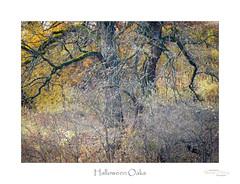 Halloween Oaks (baldwinm16) Tags: il illinois october autumn autumncolor autumnlandscape autumnleaves autumnoaks autumnscene autumntrees autumnwoods autumnal fall fallcolor fallfoliage falllandscape fallleaves falltrees fallwoods landscape midwest nature outdoors outside scenic season natureofthingsphotography