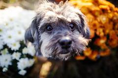 42/52 - My Flower (Kirstyxo) Tags: teddy cute dog sweet flowers carnations autumnal autumn 4252 52weeksfordogs 52weeksfordogs18 52weeksfordogs2018