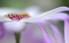 Touch me in the morning.. (setoboonhong) Tags: nature flowers cineraria petals stamens pollen macro close up bokeh blur colours pastel fitzroygardenconservatory melbourne song touchmeinthemorning dianaross 1972