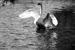 In A Flap (WorcesterBarry) Tags: blackwhite bnw blackandwhite swans reflection river outdoors places photographers lovebw light love monochrome city display demonstrations adventure shadows